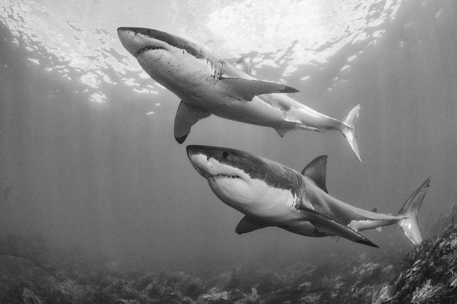 L'envol des grands requins blancs, parChris Fallows.