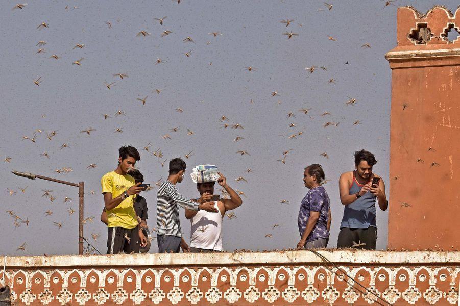 Des essaims de criquets pèlerins ont survolé la ville de Jaipur, en Inde.