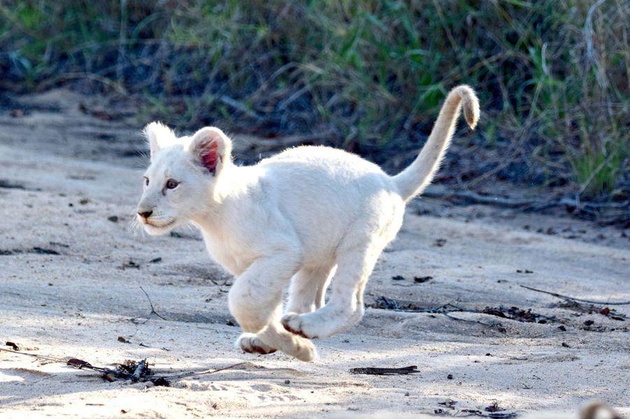 Ils ne seraient plus qu'une quinzaine à l'état sauvage dans le monde. Le photographeRamsay Horton a immortalisé un lionceau blanc dans le parc Kruger, en Afrique du Sud.