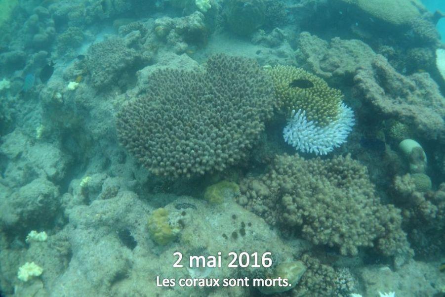 """Le biologiste est pessimiste quant à l'avenir du récif. """"Peut-être qu'il est déjà trop tard. Mais ce n'est pas une raison pour ne rien faire"""""""