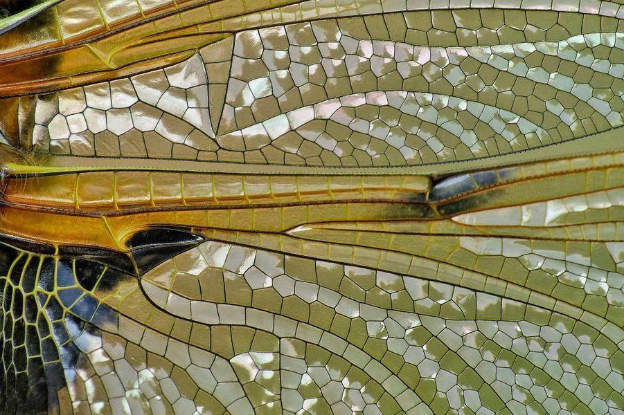 Ceci est une aile de libellule. Photo pris àGelston (Angleterre).