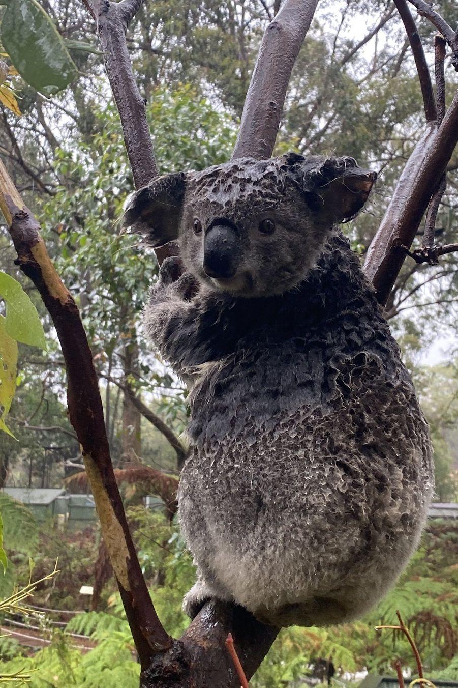 Un koala sous la pluie dans l'Australian Reptile Park de Somersby, au nord de Sydney.