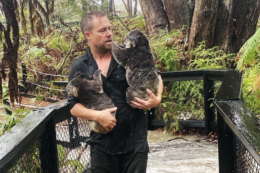 Un koala sauvé des flots dans l'Australian Reptile Park de Somersby, au nord de Sydney.