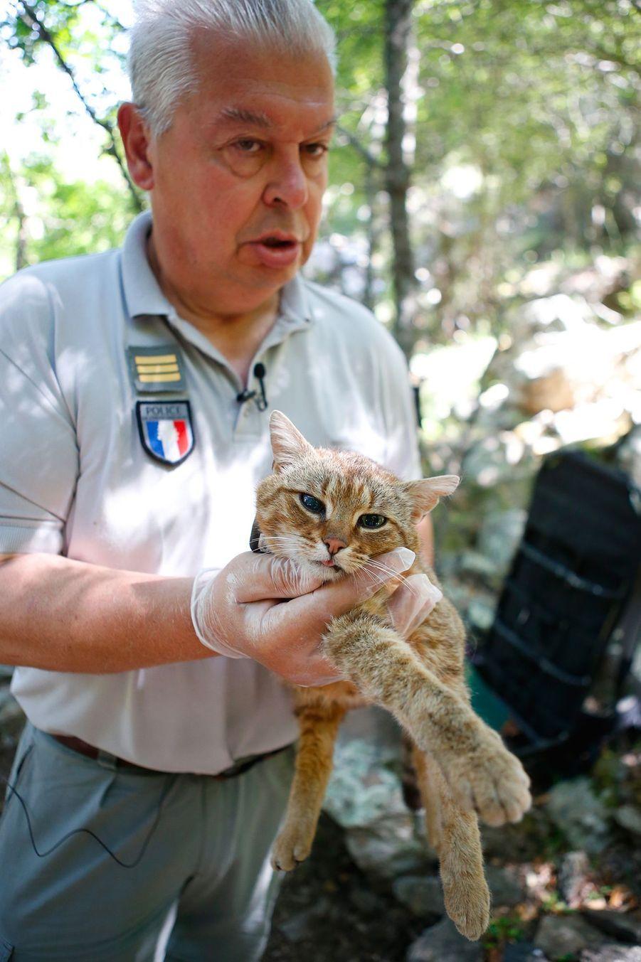 Le chat-renard vit dans la vallée d'Asco, un territoire montagneux très escarpé de 25.000 hectares, situé loin de l'homme, et où il y a de l'eau et un couvert végétal pour le protéger de son principal prédateur, l'aigle royal.