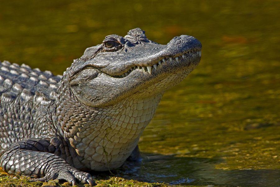 Un crocodile sacré d'Afrique.