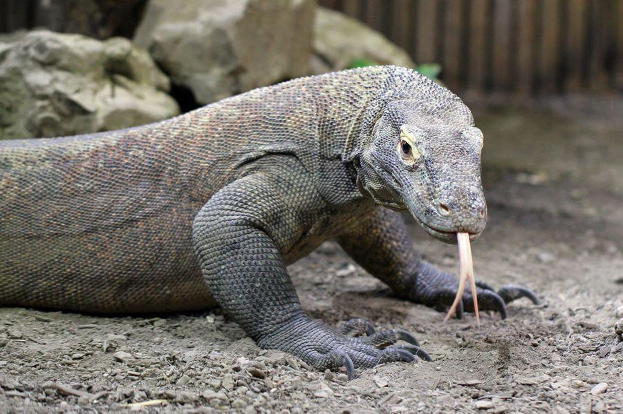 Le dragon de Komodo.