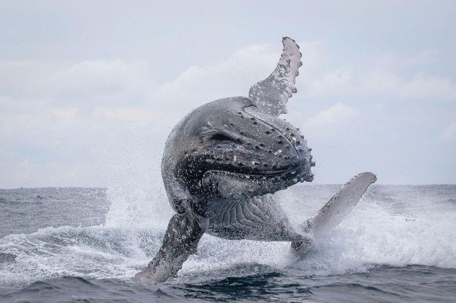 Une famille de baleines à bosses photographiée par John Goodridge à Sydney, à l'aube du 6 juin 2020.