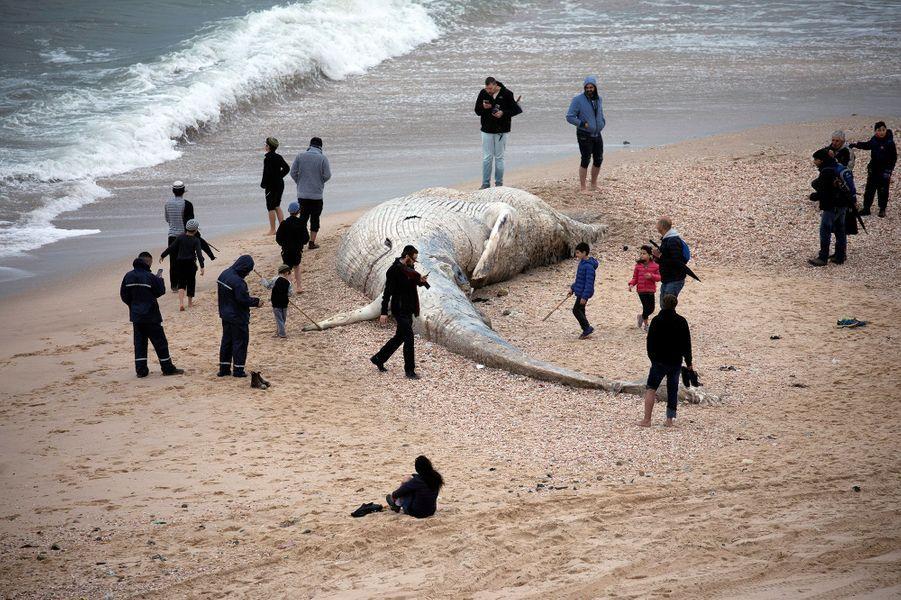 La dépouille de la baleine de 17 mètres de long sur une plage d'Ashkelon, en Israël.