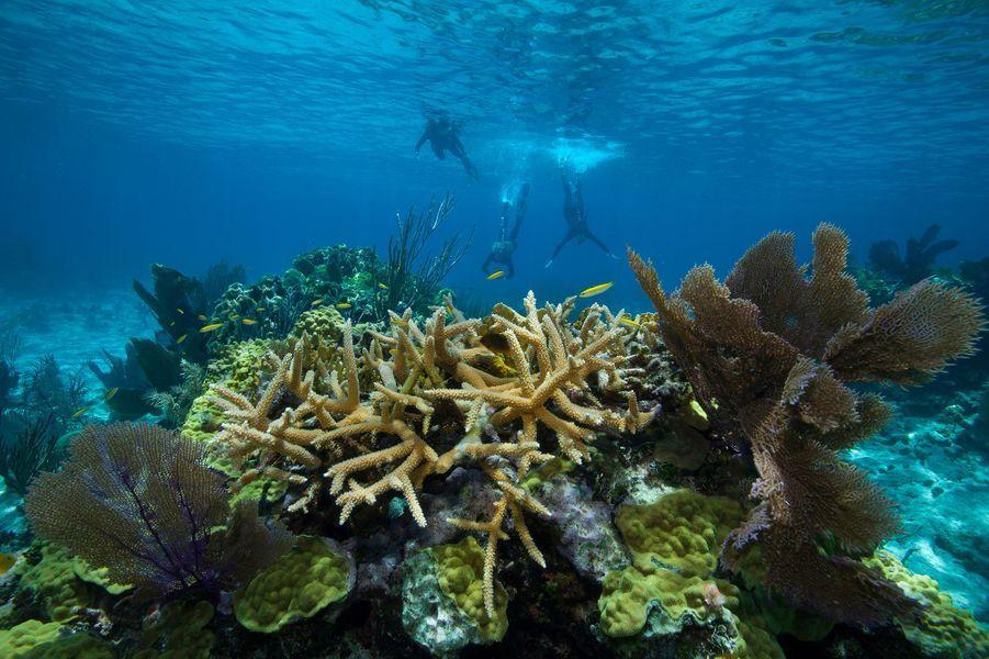 Le corail corne de cerf