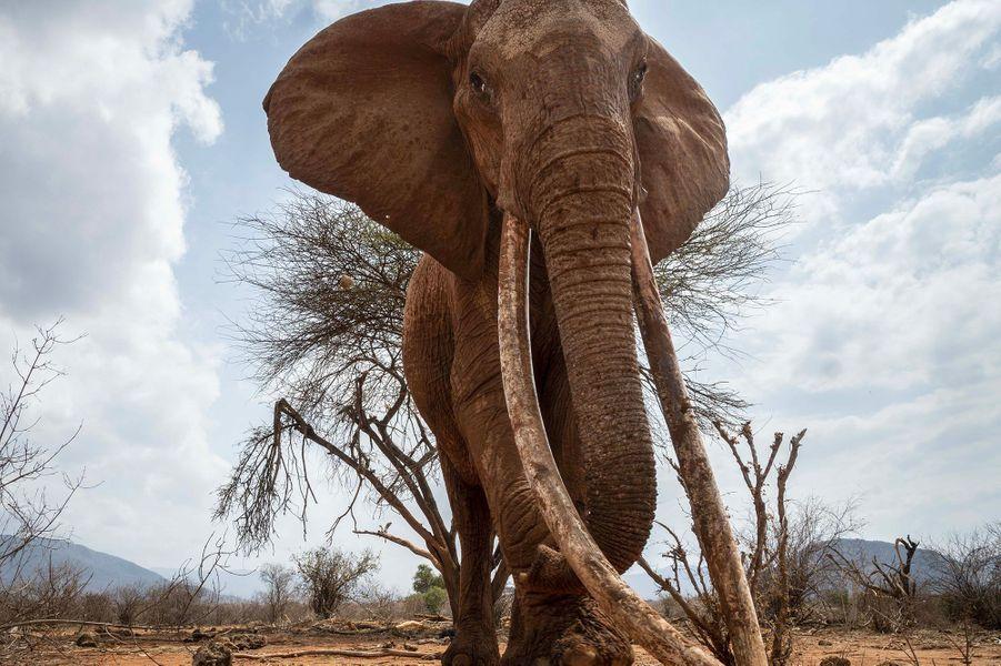 L'éléphante F_MU1 immortalisée par Will Burrard-Lucas dans le parc national de Tsavo East, au Kenya, en août 2017.