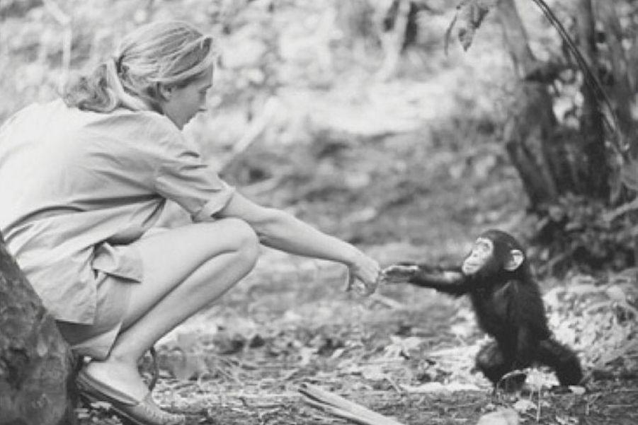 Jane Goodall, la primatologue britannique qui a vécu parmi les chimpanzés. A 81 ans, elle n'a pas renoncé à son combat pour la biodiversité.DeNicolas HulotàJean-Louis Etienne, la défense de la terre a donné un sens à leur vie. Scientifiques, acteurs, explorateurs, chaque jour des hommes et femmes, inconnus ou célèbres, se dressent contre la destruction de l'environnement et de la faune sauvage. Parfois au péril de leur vie comme Chico Mendes, le protecteur de la forêt amazonienne et des Indiens qui l'habitent, abattu en 1988 sur les ordres d'un riche éleveur. Ou l'éthologue Dian Fossey, assassinée à l'âge de 53 ans au terme d'une vie entière dédiée auxgorillesmenacés d'extinction.L'exemple de ces pionniers est une source d'inspiration pour des milliers de jeunes dans le monde, à l'instar de Boyan Slat, Néerlandais de 21 ans, qui s'est donné pour mission de nettoyer les océans. Ces héros de l'écologie ont aussi un rôle capital auprès des gouvernements et des puissantes multinationales, trop souvent enclins à faire passer leurs intérêts économiques et politiques avant l'urgence environnementale : par leur capacité de mobilisation, ils sont capables de pousser à agir ceux qui sont vraiment en position de faire avancer les choses. Si la conférence sur le changement climatique, COP 21,qui se tiendra du 30 novembre au 11 décembre à Paris, débouche sur un accord important, ils y seront pour beaucoup.A lire aussi:Paul Watson, preux chevalier du grand large