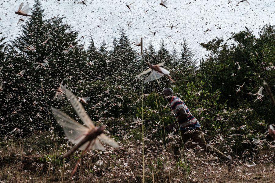 Dans un essaim decriquets pèlerins au Kenya.
