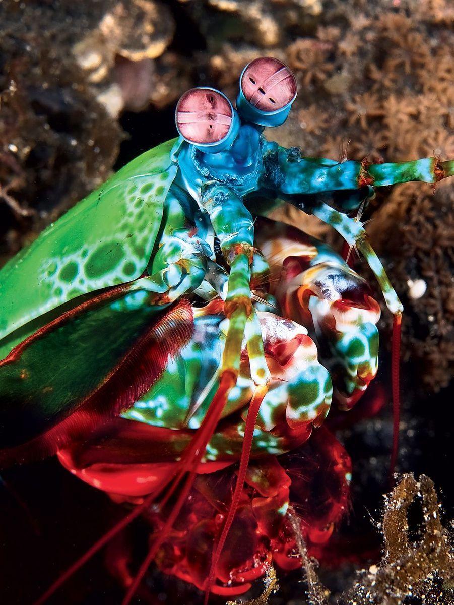 Squille multicolore. Lambeh Strait, Sulawesi Turquie Mars 2011.