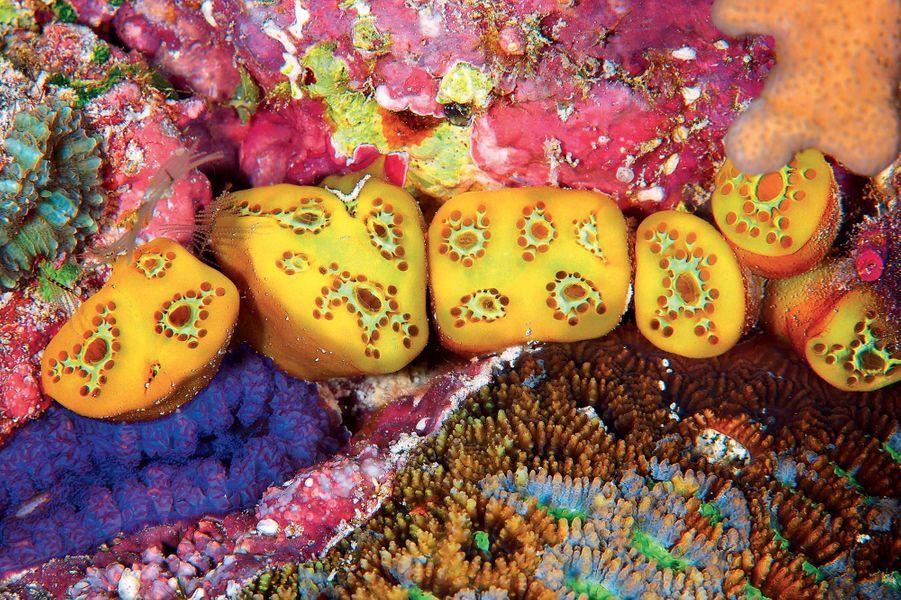 Tuniciers.Palau Micronésie Décembre 2008.
