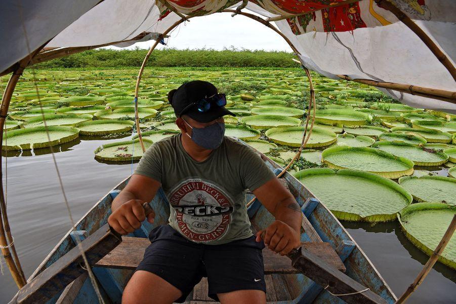 Lesnénupharsgéants du Paraguay ont éclo dans des lagunes peu profondes d'une boucle de la rivière Paraguay, à Limpio, à trente kilomètres de la capitale Asuncion. Leurs spectaculaires feuilles peuvent s'épanouir sur 1,5 m de diamètre.