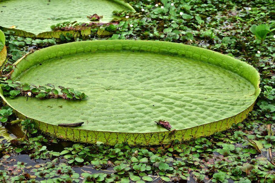 Lesnénupharsgéants du Paraguay ont éclo dans des lagunes peu profondes d'une boucle de la rivière Paraguay, à Limpio, à trente kilomètres de la capitale Asuncion. Leursspectaculaires feuilles peuvent s'épanouir sur 1,5 m de diamètre.