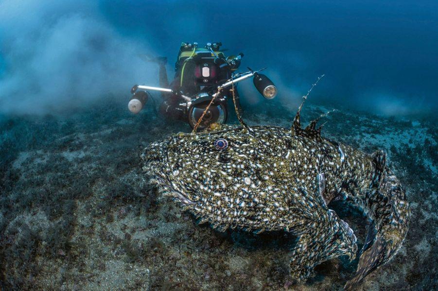 Reflet de l'œil d'or… dans l'objectif du plongeur, Antonin Guilbert face à une baudroie de 1,20 mètre et 40 kilo