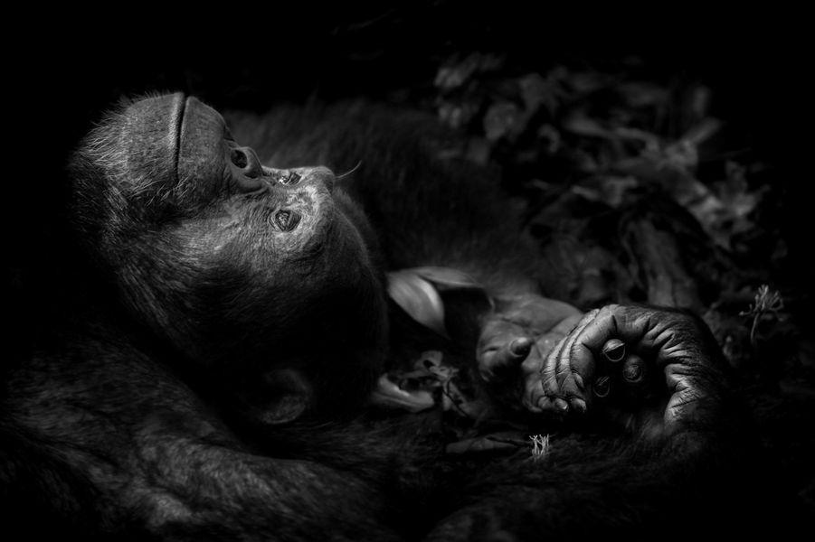 """""""Contemplation"""" parPeter Delaney.Totti n'aurait pu faire mieux. Il avait eu beau appeler et gesticuler pendant plus d'une heure, tentant d'inciter une femelle à descendre de la canopée, rien n'y fit. Peter était tout autant frustré, il avait passé une matinée difficile à suivre ce groupe de chimpanzés dans le parc national de Kibale, en Ouganda. Le plus souvent, quand il rattrapait le groupe de grands singes, il n'avait que la vision fugitive et frustrante d'animaux passant d'arbre en arbre. «Photographier en forêt tropicale est complexe, tout y est saturé d'humidité, les lumières sont très faibles et les rares taches de soleil perturbent en permanence les réglages de l'appareil photo. Trouver l'optimum en sensibilité ISO conduisait à utiliser des vitesses basses et comme il était interdit d'utiliser des trépieds ou des monopodes dans le parc, obtenir une image nette restait un vrai défi.» Au moins Totti était-il au sol mais occupé à une cour agitée. Il s'est finalement immobilisé, s'affalant au sol, consterné par cet amour non réciproque. Ce fut une chance pour Peter. «Il était sur le dos, ses mains derrière la tête, on avait l'impression qu'il rêvait de ce qui aurait pu être»."""