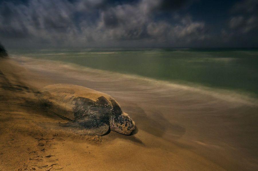 """""""L'immuable rituel"""" parBrian Skerry.Comme des générations avant elle, cette tortue luth traîne son corps pesant sur le sable, en s'aidant de ses nageoires démesurées. Elle retourne imperturbable à l'océan. Les luths sont les plus grandes des tortues, celles qui ont la plus vaste aire de répartition et plongent le plus profond. Leur lignée génétique s'est séparée de celle des autres tortues il y a 100 à 150 millions d'années. Elles passent l'essentiel de leur vie au large, dans des abysses de mystères. Adultes, les femelles atteignent 1m60 de long et retournent pondre sur les plages où elles ont vu le jour. Le parc national de Sandy Point, dans les Îles Vierges, abrite un de ces sites essentiels pour l'espèce, protégé depuis des décennies. Ailleurs, les tortues luth n'ont pas autant de chance. Elles sont accidentellement victimes des filets de pêche et sont aussi menacées par la consommation humaine, les changements climatiques et les aménagements côtiers. Chaque femelle pond une centaine d'œufs et deux mois plus tard, les petites tortues émergent. De la température d'incubation dépend le sexe, la chaleur favorisant les femelles. On ne les voyait pas toutes les nuits à Sandy Point, et souvent elles étaient hors d'atteinte de Brian. Après deux semaines, sous un ciel clair, sans lumière urbaine en arrière-plan, la rencontre qu'il attendait survint. L'utilisation d'un long temps de pose donne une image évoquant une atmosphère primitive, une scène hors du temps, baignée par la lumière de la pleine lune."""