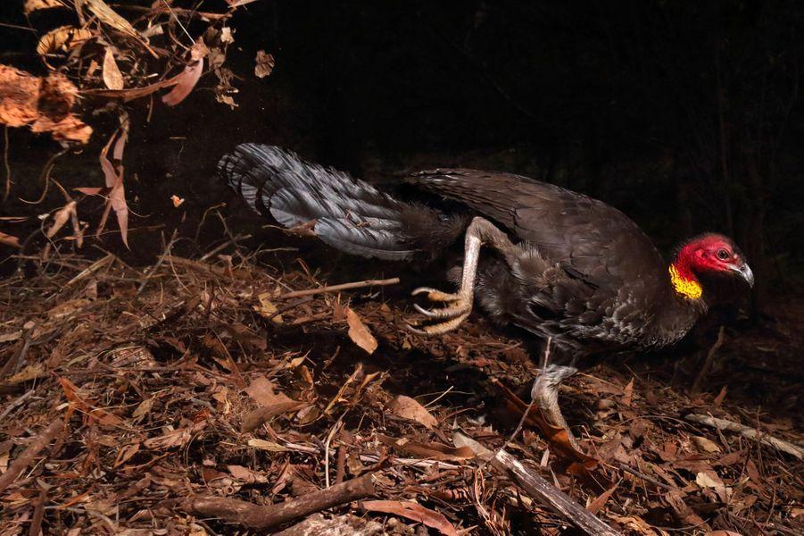 """""""L'incubateur"""" parGerry Pearce.La plupart des oiseaux couvent leurs œufs avec leur corps, mais pas le talégalle de Latham. Comme les autres mégapodes, il utilise un «four» et c'est le mâle qui s'occupe de l'incubation. Celui-ci avait installé son nid près de la maison de Gerry, à Sydney, en bordure du parc national Garigal. Au bout d'un mois le dôme constitué de feuilles, de terre et de débris végétaux atteignait un mètre. Il sera utilisé pendant des années, et pourra atteindre quatre mètres de large et deux de haut. Le talégalle y attire ensuite différentes femelles avec lesquelles il s'accouple; si le nid et le partenaire leur plaisent, celles-ci y déposeront leurs œufs. La ponte pourra toutefois avoir déjà été fécondée par un autre mâle et certains des petits de ce mâle pourront éclore dans un autre nid. Quand la matière organique entre en décomposition, la chaleur s'élève. Le mâle vérifie régulièrement à l'aide de capteurs sensoriels situés dans son bec que les 33°C nécessaires à l'incubation sont bien atteints. Sur cette image on le voit ajouter des matériaux pour élever la température, et si celle-ci monte trop, il en enlèvera. Gerry a suivi cet oiseau quatre mois. Au bout de sept semaines, malgré une prédation par un gros lézard, un quart de la vingtaine d'œufs avaient éclos. Les poussins avaient assez de force pour briser leur coquille et se frayer un passage hors du nid. Nidifuges et indépendants, ils quittent alors immédiatement leur abri et commencent leur vie dans le bush."""