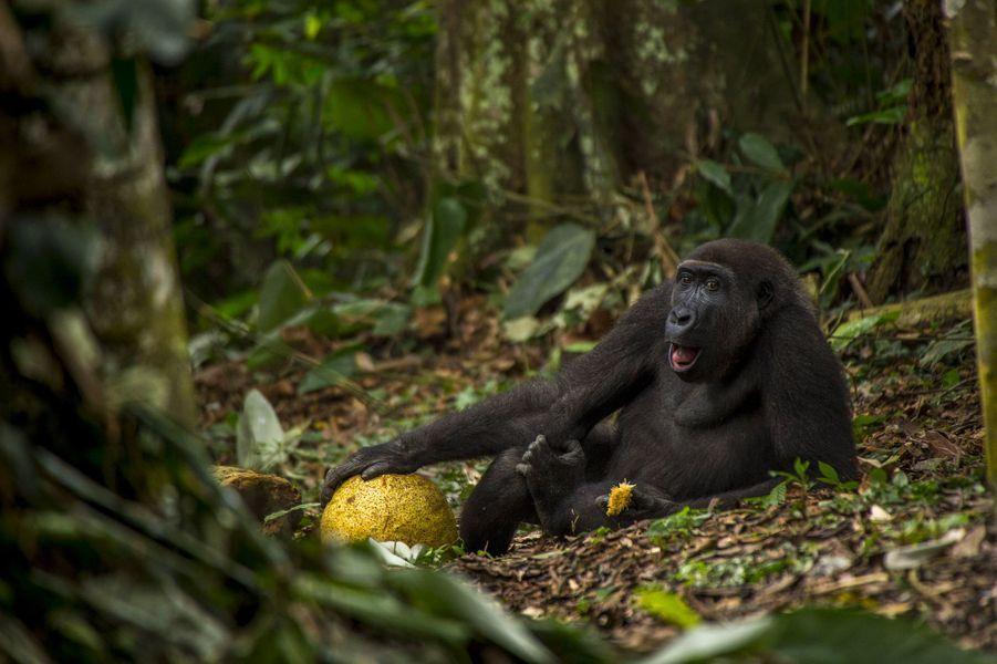 """""""La belle vie"""" parDaniël Nelson (16 ans).Daniël avait croisé Caco dans le parc national d'Odzala en République du Congo. Il suivait des pisteurs expérimentés depuis trois heures quand ils croisèrent le groupe mené par le mâle Neptuno, un des rares groupes de gorilles de plaine habitués aux humains. Pendant la saison humide, ils apprécient l'abondance de fruits, sur cette image, Caco se régale du fruit d'un arbre à pain. Il a neuf ans et se prépare à quitter sa famille. Il se fait les muscles, devient quelque peu effronté et se tient souvent en limite du groupe. Il deviendra bientôt un dos argenté solitaire mais pourra rejoindre d'autres mâles pour explorer les environs et, avec de la chance, créer une nouvelle famille d'ici huit à dix ans. Les gorilles de plaine sont menacés par le braconnage pour la viande de brousse facilité par les routes desservant les exploitations minières, la déforestation, le virus Ebola, la perte de leurs habitats et le réchauffement climatique. Dans ce portrait de Caco, détendu dans son environnement, Daniël a su capter la similitude entre les grands singes et les hommes et l'importance de la forêt dont ils dépendent."""