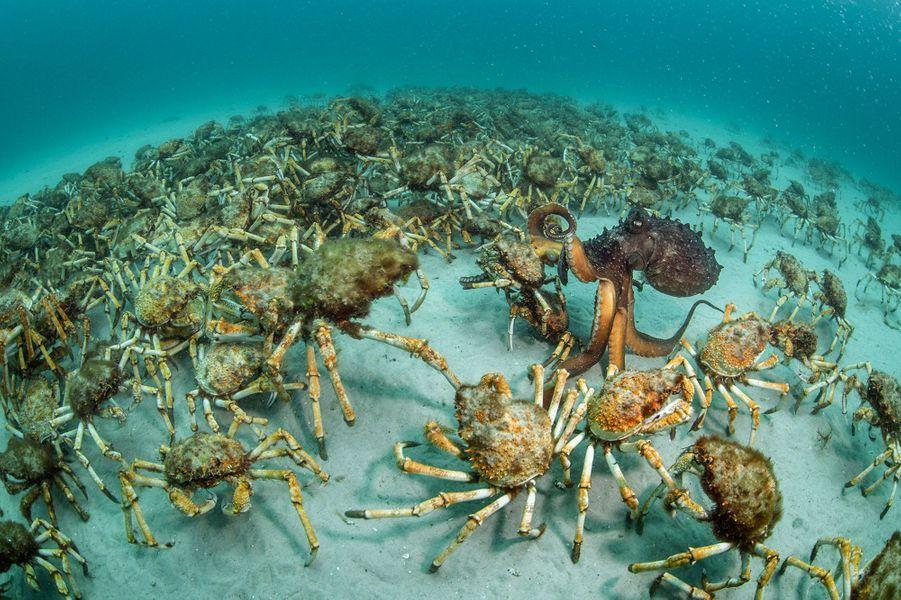 """""""La procession"""" parJustin Gilligan.Surgissant du Grand Bleu, cette masse compacte couvrant plus d'un hectare avance, pensant que le nombre assurera la sécurité et récupérant toute nourriture se trouvant sur son passage. Connues pour se regrouper par milliers dans les eaux australiennes, ces araignées de mer géantes ne vont pas tarder à muer. Justin était absorbé par le reportage qu'il réalisait sur un programme de l'université de Tasmanie consistant à transplanter du kelp, il fut pris par surprise. Un crabe isolé peut être difficile à repérer, car couvert d'algues et d'éponges, il est très mimétique. Mais il était impossible de rater un tel rassemblement qui restait jusqu'ici inconnu à l'est des côtes tasmaniennes. «Au bout d'un quart d'heure, une forme bizarre apparut, surnageant au-dessus de la masse ondulante». C'était un poulpe qui, comme Justin, semblait ravi de cette abondance inattendue. C'est le plus grand poulpe de l'hémisphère sud, couvert d'une peau tachetée et bosselée et pourvu de bras puissants pouvant atteindre 3 mètres, il semblait pourtant avoir du mal à choisir et attraper une proie. Coup de chance, l'eau était limpide et le soleil se reflétait sur le sable. Justin fit le point et cadra rapidement alors que le poulpe venait de faire son choix."""