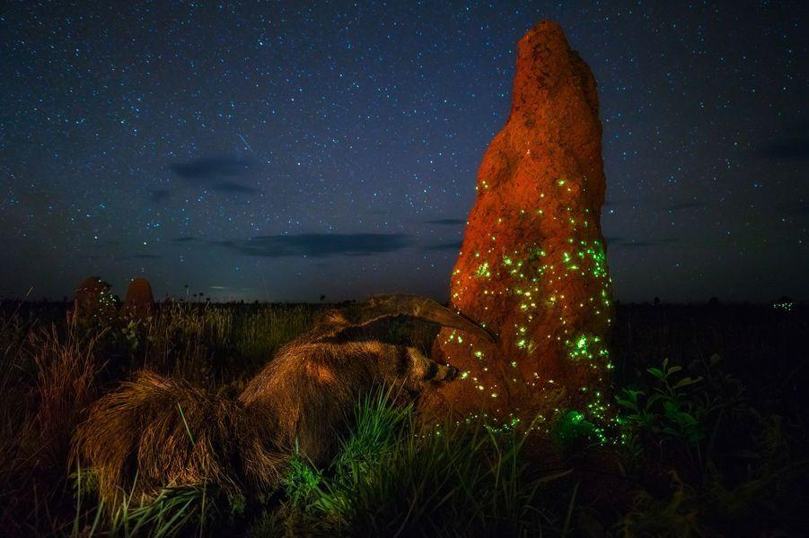 """""""Le grand tamanoir"""" parMarcio Cabral.La saison des pluies commençait et même si la nuit était humide, il n'y avait pas de nuages. Sous le ciel étoilé les termitières scintillaient d'intenses lumières vertes. Pendant trois saisons, Marcio avait campé dans le parc national d'Emas, au Cerrado, sur ces immenses savanes brésiliennes dépourvues d'arbres, attendant l'occasion de saisir le spectacle. Tout se mit en place quand les essaimages de termites débutèrent. Les larves de petits coléoptères, les taupins, qui vivent dans les couches superficielles des termitières, commencèrent à émettre des signaux bioluminescents pour attirer leurs proies, les termites. Après des jours de pluie, Marcio put finalement prendre des images du phénomène, mais il eut en plus droit à une surprise de taille. Surgissant de la nuit, un grand tamanoir déambulait. Sans se soucier de l'affût, il s'attaqua avec ses griffes puissantes à la base en terre durcie de la termitière. Le tamanoir est protégé des morsures des termites par ses longs poils et sa peau caoutchouteuse. Il extrait ses proies des galeries avec sa langue collante démesurée. Si sa vision est médiocre, son odorat aiguisé l'aide à localiser les insectes. Le vent était favorable à Marcio et l'animal lui laissa le temps de bien préparer cette photo. Utilisant un grand-angle, un faible coup de flash et une longue exposition, il captura en même temps les étoiles et la lumière des taupins."""
