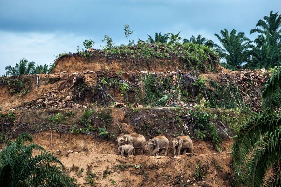 """""""Les survivants de la palmeraie"""" parAaron « Bertie » Gekoski.À l'est du Sabah, sur l'île de Bornéo, trois générations d'éléphants de Bornéo se frayent un chemin sur la terrasse d'une palmeraie qui vient d'être déboisée avant replantation. L'huile de palme est un produit d'exportation planétaire lucratif et, dans l'État du Sabah, en Malaisie, où l'essentiel des forêts tropicales a été coupé, cette industrie reste le premier moteur de la déforestation. Seuls 8 % de la forêt demeurent intacts et les pachydermes sont relégués à des territoires de plus en plus restreints. Ils pénètrent maintenant les plantations pour se nourrir, entrent en conflit avec les humains et sont souvent abattus ou empoisonnés. En 2013, 14 animaux furent empoisonnés, le seul survivant fut un jeune qu'on retrouva caressant sa mère, morte. Les attaques d'éléphants envers des humains sont aussi en hausse. Il ne reste aujourd'hui que 1 000 à 2 000 éléphants de Bornéo considérés comme appartenant à une sous-espèce isolée de l'éléphant d'Asie sur Bornéo il y a plus de 300 000 ans. Ils tissent des liens sociaux très forts et les femelles restent souvent ensemble tout au long de leur vie. Ce groupe comprend probablement une matriarche, deux de ses filles et un jeune de l'une d'elles. La lumière faiblissait et Bertie dut faire vite. Son image symbolise l'un de nos besoins insatiables : celui de l'huile de palme qui entre dans la composition de la moitié de ce que nous trouvons dans nos supermarchés. Son image est obsédante : faisant bloc, les éléphants avancent, comme écrasés par ce paysage"""
