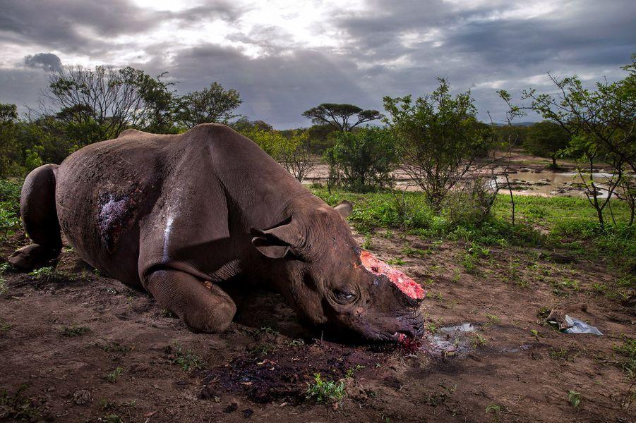 """""""Mémorial pour une espèce"""" parBrent Stirton.Ce rhinocéros noir est mort dans le parc africain d'Hluhluwe Imfolozi moins de huit heures avant que la scène ne soit immortalisée. Les braconniers lui ont tendu une embuscade à un point d'eau et l'ont abattu à l'aide d'un fusil muni d'un silencieux. L'autopsie a révélé que la balle a causé d'importants dégâts internes sans toutefois entraîner la mort. Le rhinocéros a couru sur une courte distance, est tombé à genoux puis a été achevé d'un tir dans la tête à bout portant. Cette image souligne le massacre des populations de rhinocéros en Afrique dont l'essentiel émane du trafic des cornes, toujours en expansion. Autrefois l'espèce de rhinocéros la plus nombreuse, le rhinocéros noir est aujourd'hui en danger critique d'extinction, moins de 4 000individus survivent encore dans la nature."""