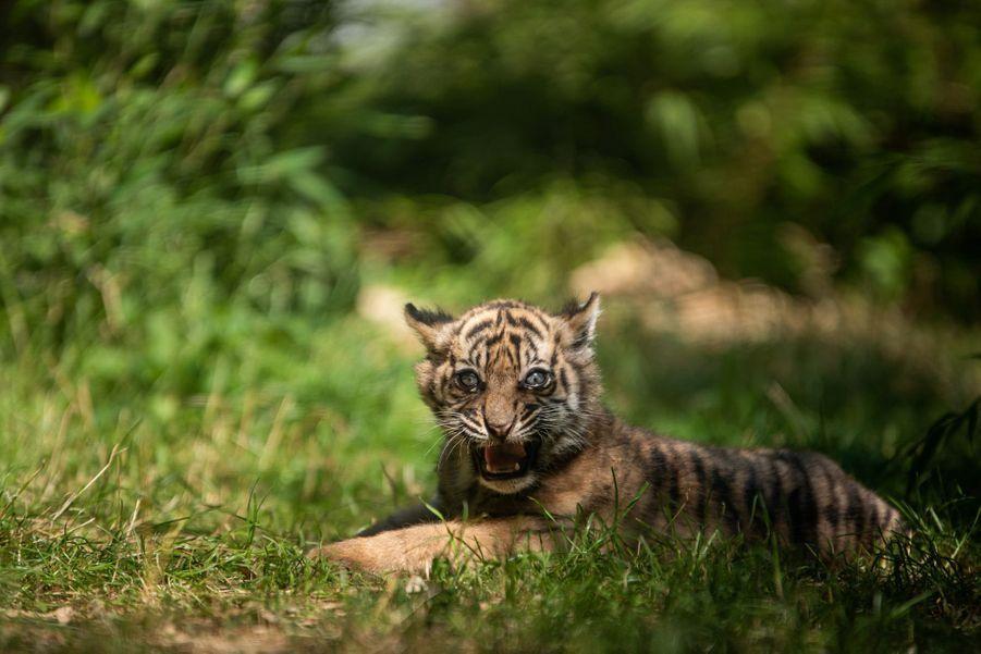 Le jardin zoologique de Wroclaw, dans le sud-ouest de la Pologne, a vu naître un tigre de Sumatra pendant le confinement.