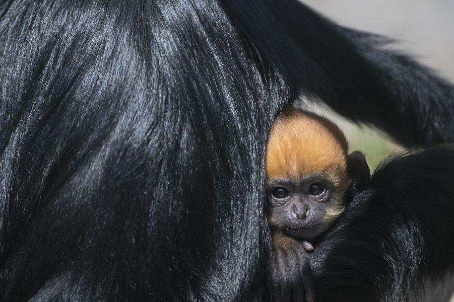 Sous le regard de son père, Johan, et bien agrippé à sa mère, Ping, le petit mâle à la tête rousse effectue ses premières sorties dans son enclos, alors que le zoo de Besançon demeure désert et paisible en raison du confinement.