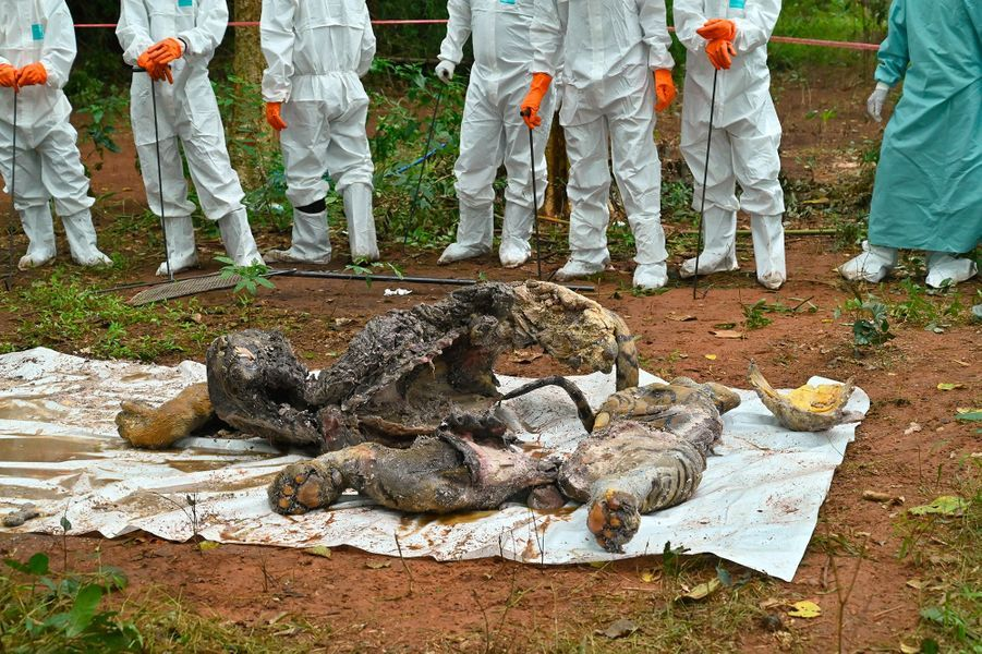 Une carcasse de tigre, probablement mort de la maladie de Carré.
