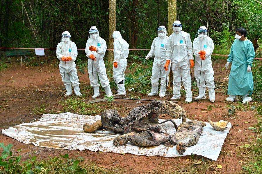 Une carcasse de tigre, probablement mort de lamaladie de Carré.