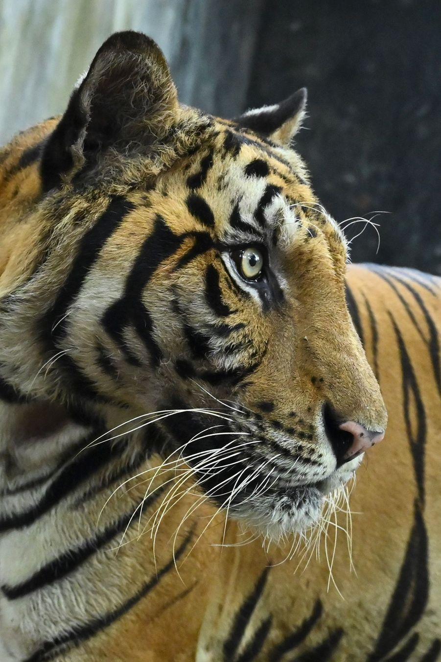 Un tigre au templeWat Pha Luang Ta Bua de Kanchanaburi.