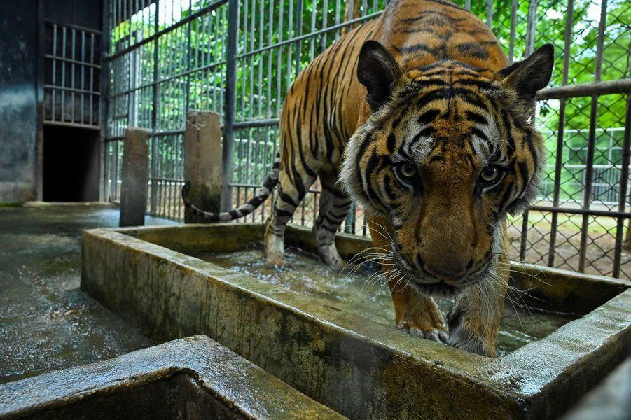 Un tigre dans une cage.
