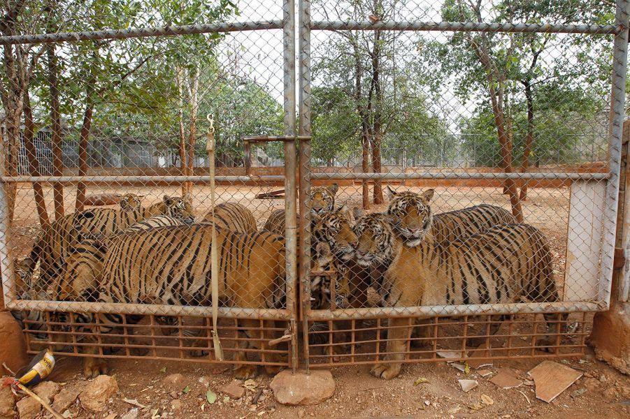 Des tigres autemple Wat Pha Luang Ta Bua de Kanchanaburi.