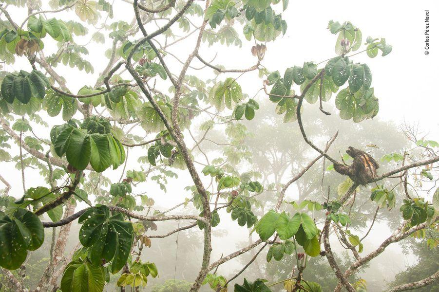 Un perchoir dans la canopée.Quand la famille de Carlos avait décidé d'un voyage dans le parc national de Soberania, les paresseux étaient en tête des espèces désirées. Ils ne furent pas déçus. Pendant plusieurs jours, du haut d'un mirador installé dans la canopée, en plus de quelques oiseaux, Carlos put longuement photographier un Paresseux à gorge brune. Sa fourrure orangée et ses rayures noires dorsales désignent un mâle adulte. Accroché aux branches d'un cecropia, il bougeait parfois lentement pour atteindre de nouvelles feuilles. La forêt ce matin-là était baignée de brume. Carlos décida d'une nouvelle composition photographique. Il descendit du mirador pour tenter une prise de vue en contreplongée, la posture du paresseux tout en conservant les caractéristiques du paresseux : ses trois griffes agrippées à une branche, sa fourrure rêche et son masque aux yeux comme maquillé. En choisissant de décentrer son sujet, il capturait également l'atmosphère forestière d'un paresseux dans son environnement.