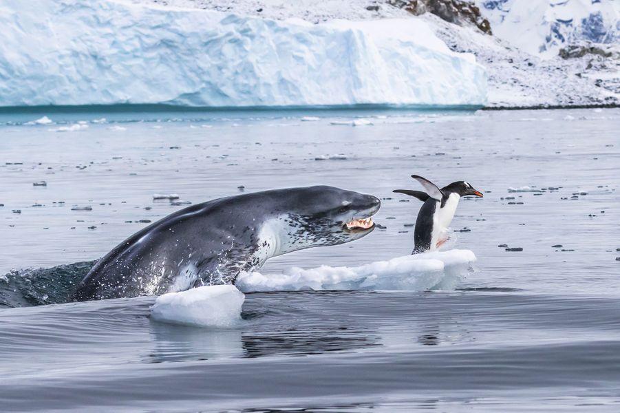 Si les manchots pouvaient voler.Un Manchot papou, le nageur le plus rapide parmi tous les manchots, fuit pour sauver sa vie alors qu'un Léopard des mers surgit de l'eau. Eduardo espérait cette scène. Il avait localisé le manchot se reposant sur une glace flottante, proche de la colonie de l'île de Cuverville, le long des côtes de la péninsule Antarctique. Le léopard patrouillait alentours. Le bateau pneumatique d'Eduardo pointait vers le manchot quand le prédateur plongea sous son esquif. Le phoque bondit hors de l'eau, gueule ouverte, mais le manchot réussit à s'échapper. Le phoque sembla ensuite transformer la chasse en jeu. Le Léopard des mers est un formidable prédateur pouvant atteindre 3m50 et peser plus de 500kg. Son corps svelte est taillé pour la vitesse et ses mâchoires sont pourvues de longues canines et de molaires tranchantes. C'est un prédateur très polyvalent : poissons ou jeunes phoques d'autres espèces. Il joue souvent avec ses proies, à l'instar de ce léopard qui poursuivit ce manchot une quinzaine de minutes avant de finalement le capturer et le manger.