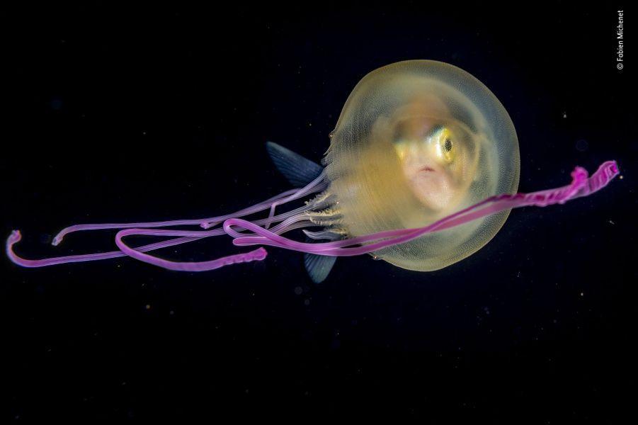 Bébé méduse.Au large de l'île de Tahiti, une jeune carangue juvénile pointe son nez hors d'une méduse tigrée pourpre. N'ayant rien pour se dissimuler dans l'océan, les petites carangues utilisent les méduses comme abri nocturne ou de transit en se réfugiant sous leur ombrelle. Il semble qu'elles soient immunisées des filaments urticants des méduses, qui éloignent les prédateurs. « Lors des centaines de nuits de plongée, je n'ai jamais pu observer une espèce sans l'autre. » On ne sait pas si la méduse retire un bénéfice de ce comportement ni pourquoi celui-ci s'interrompt quand l'eau de mer s'acidifie. Plonger de nuit en eau profonde, à une vingtaine de mètres, est la spécialité de Fabien. Le zooplancton remonte alors des grands fonds pour se nourrir du phytoplancton de surface et d'autres prédateurs suivent. Dérivant auprès de la méduse et de son cavalier, Fabien put combiner tous les éléments de sa composition exactement au moment de déclencher sa prise de vue.