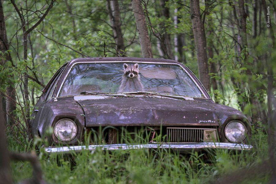 Ouverture intéressante.Dans une ferme abandonnée du Saskatchewan, au Canada, un raton-laveur opportuniste pointe son museau masqué à travers une Ford Pinto des années 70. Sur le siège arrière, ses cinq rejetons bruissent d'excitation. Un sentiment partagé par Jason, caché dans son affut. Il attendait ce moment chaque été depuis plusieurs années. Le seul accès à l'habitacle était un trou dans le pare-brise, les bords en étaient émoussés, mais l'ouverture trop étroite pour les coyotes, prédateurs habituels des ratons-laveurs dans le secteur. C'était un endroit idéal pour élever une famille. Au crépuscule, la femelle contrôlait les environs un instant immobile, juste assez pour que Jason puisse faire une image à une vitesse lente. Puis elle comprimait son corps et traversait la vitre pour aller chercher sa nourriture.