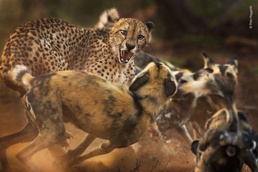 Une rare rencontre.Un guépard solitaire est pris à partie par une meute de lycaons. C'est une rencontre inattendue car ces deux espèces ont disparu d'une grande partie de leur aire de distribution et il ne reste plus, de part et d'autre que 7000 individus. Cette régression est surtout due à la fragmentation et à la perte de leurs habitats. Peter suivait la meute en voiture dans la réserve de chasse de Zimanga, au KwaZulu-Natal, en Afrique-du-Sud. Un phacochère venait juste d'échapper à cette meute quand les leaders du groupe croisèrent le félin. Au début, les canidés étaient méfiants, mais soudain renforcés par douze congénères, ils prirent confiance et commencèrent l'encerclement du guépard, jappant d'excitation. Le vieux guépard cracha et se jeta sur le groupe, son oreille gauche déchirée, celle de droite rabattue. La poussière volait dans la poussière matinale, Peter gardait la mise au point sur la tête de l'agressé. Au bout de quelques minutes le conflit s'arrêta et le guépard s'enfuit.