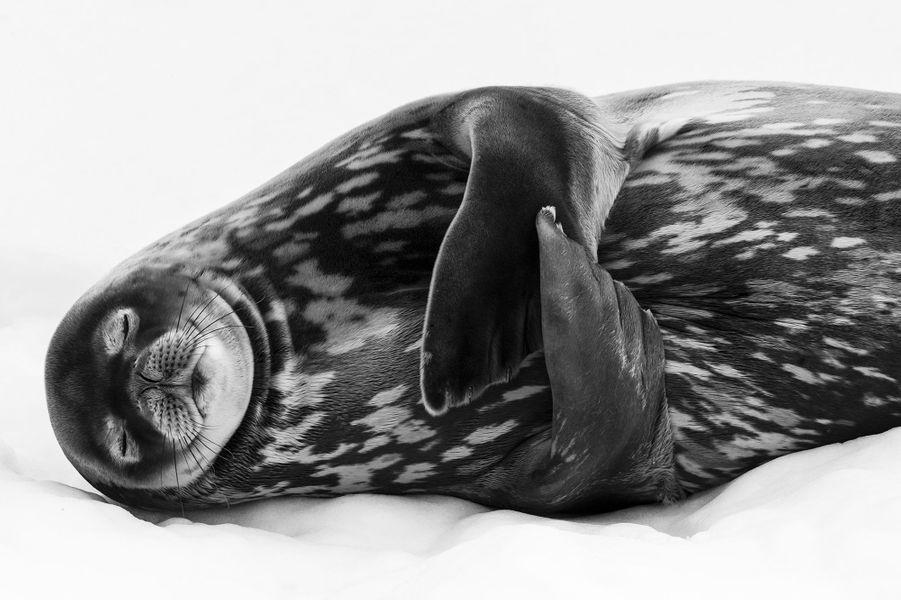 Dormir comme un phoque.Serrant délicatement ses nageoires contre son corps, ce Phoque de Weddell aux yeux clos semble plongé dans un profond sommeil. Il repose sur une langue de glace attachée à la terre, à Port Larsen, en Géorgie du Sud. Relativement à l'abri des prédateurs, orques épaulards et léopards des mers, il peut se détendre et digérer. Ce mammifère est le plus méridional du monde quant à sa reproduction. Il peuple des habitats côtiers autour de l'Antarctique. Ce phoque peut atteindre 3m50 et les femelles sont plus grandes que les mâles. Son corps est recouvert d'une épaisse couche de graisse pour le protéger de l'eau glacée. Il se nourrit surtout de grands poissons et c'est un plongeur remarquable, capable de descendre à plus de 500 m de profondeur. Il a de grandes réserves de myoglobine (une protéine qui permet de stocker l'oxygène) dans ses muscles. Cela l'aide pour des plongées de longue durée qui peuvent atteindre une heure. Ralph prenait des images à partir d'un bateau pneumatique. Il cadra serré sur le phoque, utilisant l'arrière-plan de glace et la douce lumière d'un ciel couvert pour imiter l'éclairage d'un studio photo. Il décida de convertir son image en noir et blanc pour accentuer les tons et la texture marbrée de la dense fourrure du phoque.