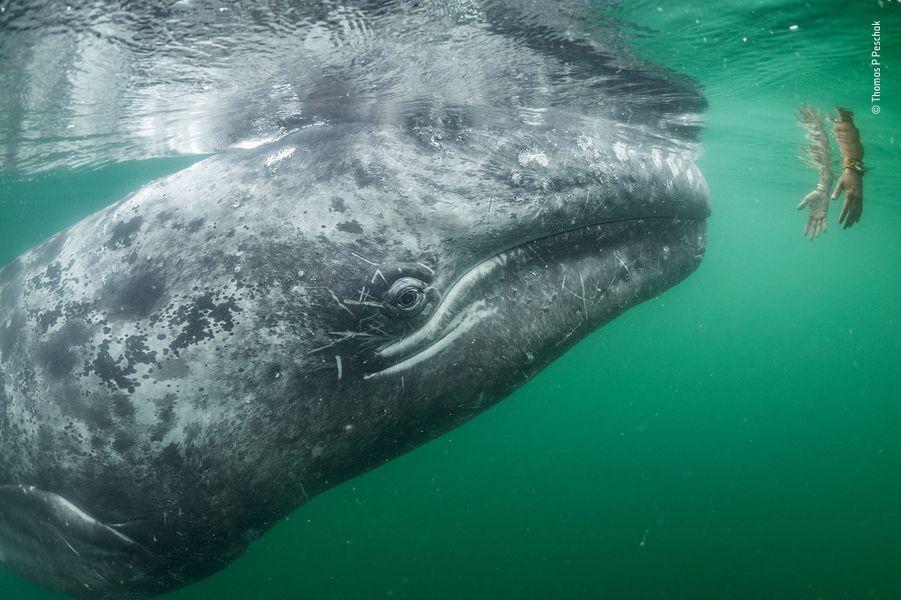 Confiance palpable.Une jeune baleine grise curieuse s'approche des mains tendues depuis un bateau de tourisme. Dans la lagune de San Ignacio, au large des côtes de Baja California, au Mexique, les bébés de Baleine grise et leurs mères recherchent délibérément le contact avec les humains pour se faire gratter la tête ou masser le dos. Cette lagune est l'une des trois à abriter une nurserie. C'est un sanctuaire majeur pour ce qui reste des effectifs en reproduction de cette espèce dans le nord-est du Pacifique. La chasse à la baleine a laissé les populations de l'ouest proches de l'extinction et balayé celles de l'Atlantique nord. Elles ont également été persécutées localement suite à des agressions contre certains bateaux et à San Ignacio ces faits ont laissé un sentiment de peur chez les pêcheurs. En 1970, un jeune mâle s'est pourtant approché d'un pêcheur qui osa le toucher. La confiance entre les baleines et les Hommes grandit depuis et aujourd'hui de nombreuses femelles encouragent leurs petits à interagir avec les humains. Les pêcheurs perçoivent maintenant des revenus provenant de l'observation de ces mammifères pendant l'hiver. C'est bien utile car les populations de poissons, et donc les captures sont en déclin. La lagune de San Ignacio est classée et l'observation des cétacés est gérée de façon attentive par la communauté locale : les bateaux sont en nombre limité, il n'y a pas de pêche hivernale et ce sont les baleines qui choisissent les contacts. Quelques années auparavant, les autorités locales avec des soutiens internationaux gagnèrent également un combat pour empêcher une saline industrielle de s'implanter dans la lagune. Pour Tom Peschak, un biologiste vétéran de l'image sous-marine, une baleine qui mendie des caresses et s'approche si près qu'on ne peut la photographier était une première. Dans ce sanctuaire, c'est l'animal sauvage qui demande à être photographié.
