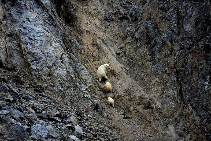 Les ours polaires, sur l'île Wrangel, en Russie.