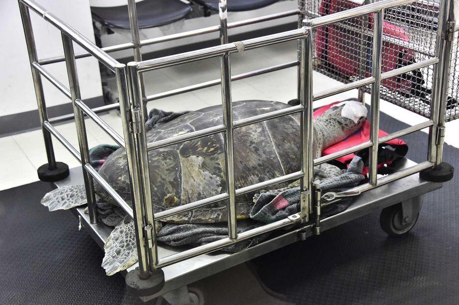 Tirelire la tortue a été transportée àl'hôpital Chulalongkorn.