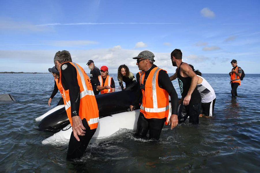 En milieu d'après-midi lundi, au moins neuf globicéphales étaient morts et une soixantaine de personnes s'efforçaient de garder les autres en vie dans l'espoir qu'ils puissent regagner le large avec la marée, àFarewell Spit.