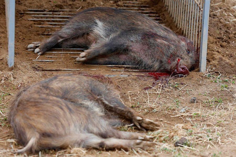 Des sangliers abattus.