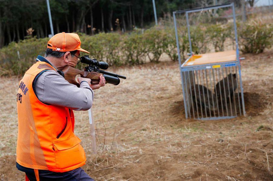 Les chasseurs abattent les bêtes contaminées.