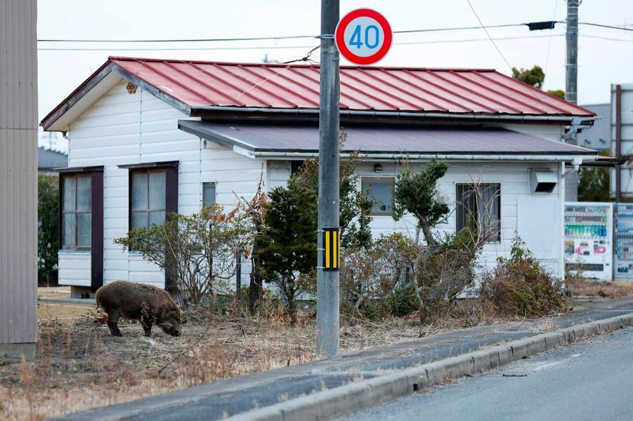 Un sanglier sauvage dans la ville deNamie, située dans la préfecture de Fukushima.