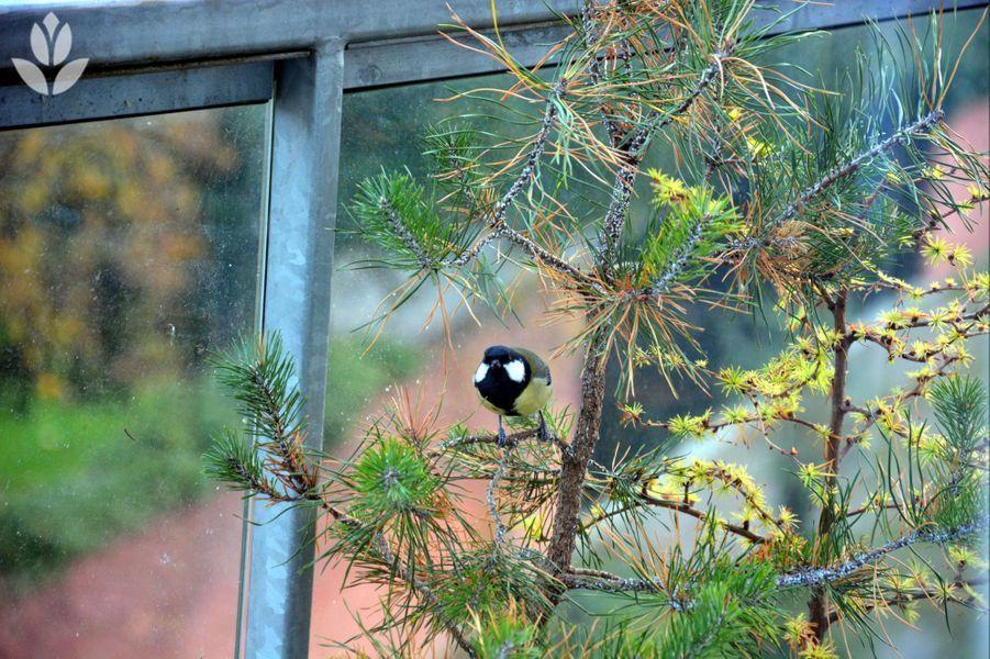 Mésange sur un pin sylvestre disposé en pot, sur un balcon